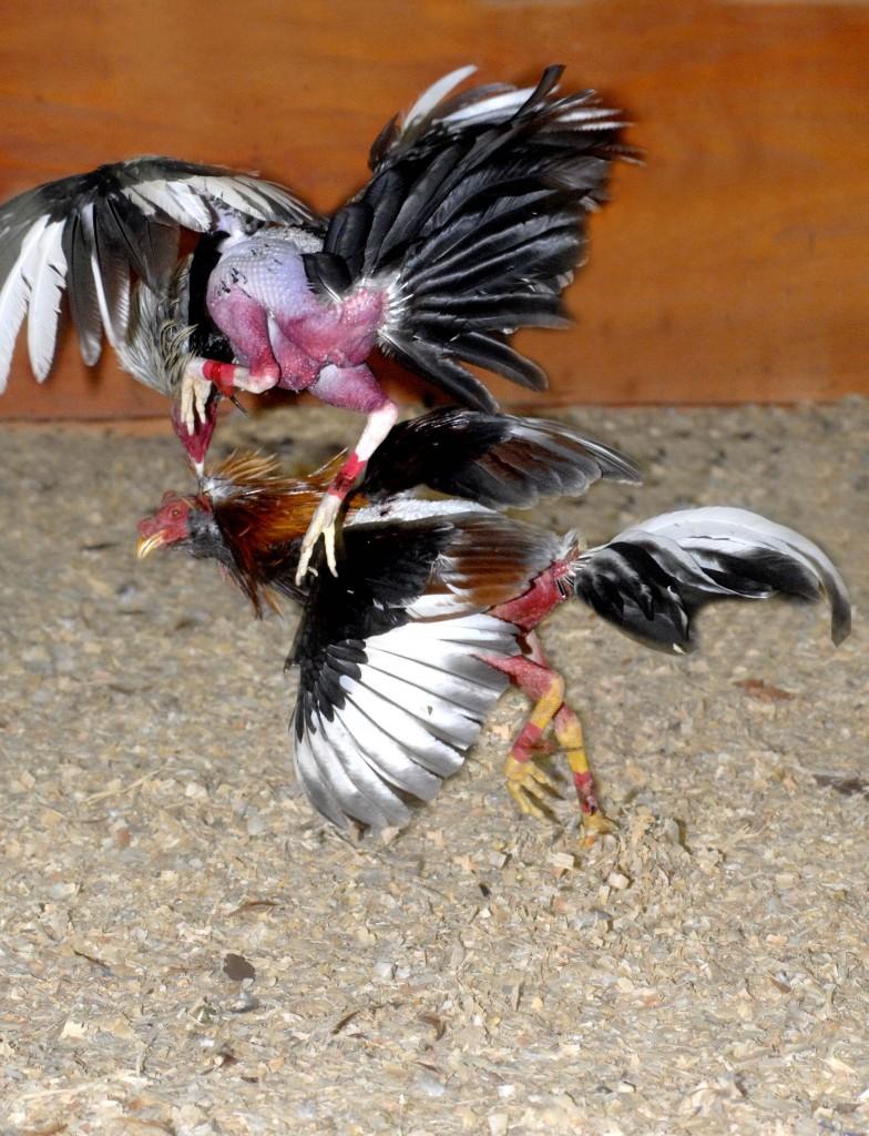 Espuelas de Gallos Finos Las Peleas de Gallos Finos